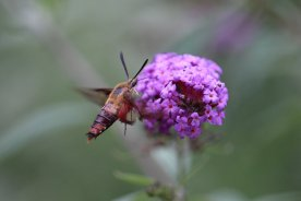 Hummingbird Clearwing Moth photo by Michelle Sharp