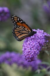 Monarch photo by Michelle Sharp