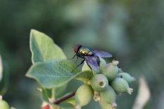 Green Bottle fly Red Oisier Dogwood photo by Michelle Sharp