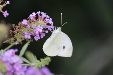 Cabbagewhite on Buddleia photo by Michelle Sharp