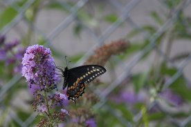 Black Swallowtail photo by Michelle Sharp