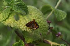 Peck's Skipper on Apple mint photo by Michelle Sharp