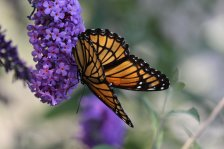 Viceroy on Buddleia photo by Michelle Sharp