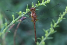 Meadowhawk photo by Michelle Sharp