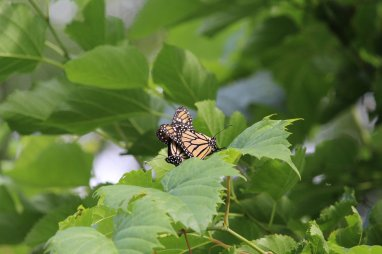 Monarchs mating photo by Michelle Sharp