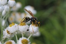 Paper wasp on Pearly Everlasting photo by Michelle Sharp