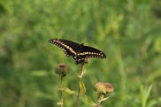Black Swallowtail photo by Michelle Sharp
