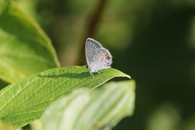 Eastern Tailed Blue photo by Michelle Sharp