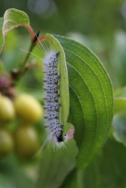 Hickory Tussock Moth Caterpillar photo by Michelle Sharp