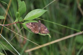 Wild Indigo Duskywing photo by Michelle Sharp