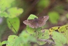 Wild Indigo Duskywing photo by Michelle Sharp