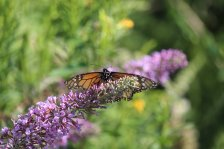 Monarch on Buddleia photo by Michelle Sharp
