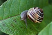Grove Snail photo by Michelle Sharp