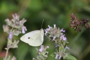 Cabbage White on Mint photo by Michelle Sharp