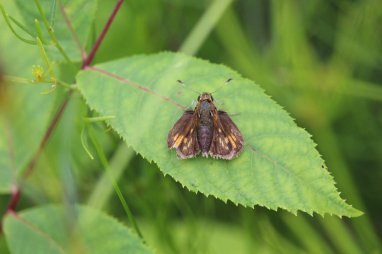 Tawny Edged Skipper photo by Michelle Sharp