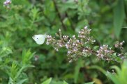 Cabbage White photo by Michelle Sharp