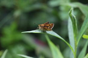 Peck's Skipper photo by Michelle Sharp