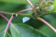White Planthopper photo by Michelle Sharp