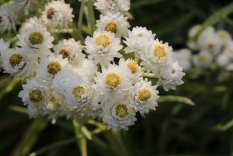 Pearly Everlasting photo by Michelle Sharp