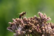 Silken Fungus Beetle on Honeybee photo by Michelle Sharp