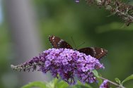 Red Spotter Purple photo by Michelle Sharp