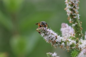 Gold Digger Wasp photo by Michelle Sharp
