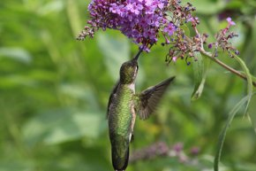Ruby Throated Hummingbird Female photo by Michelle Sharp