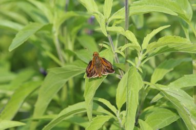 Pecks Skipper photo by Michelle Sharp