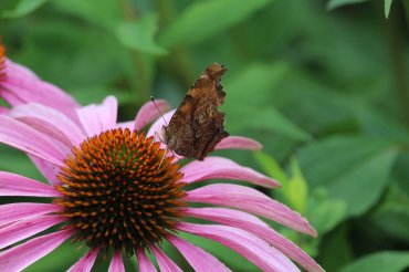 Eastern Comma photo by Michelle Sharp
