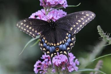 Black Swallowtail on Buddleia photo by Michelle Sharp