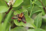 Snowberry Clearwing moth photo by Michelle Sharp