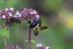 Bumblebee photo by Michelle Sharp