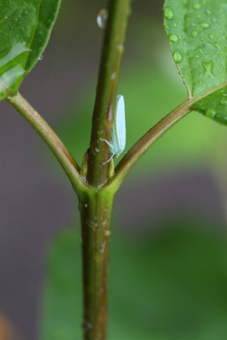 Leafhopper photo by Michelle Sharp