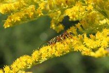 Locust Borer on Goldenrod photo by Michelle Sharp