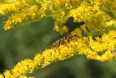 Locust Borer on Goldenrod photo by Michelle Sharp