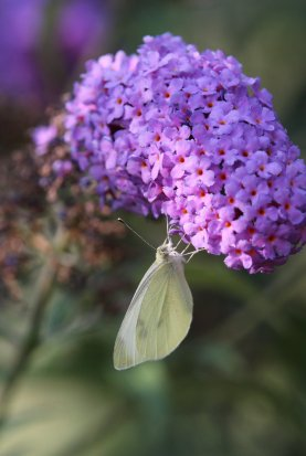 Cabbage White on Buddleia photo by Michelle Sharp