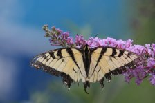 Tigers Swallowtail photo by Michelle Sharp