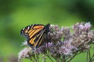 Monarch on Joe Pie Weed photo by Michelle Sharp