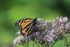 Monarch on Joe Pie Weed photo by Michelle Sharp