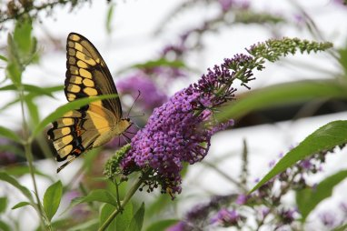 Giant Swallowtail photo by Michelle Sharp