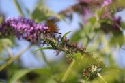 Male Eastern Amberwing Dragonfly on Buddleia photo by Michelle Sharp