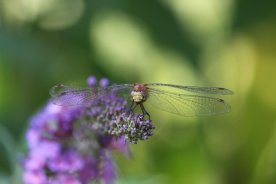 White-faced Meadowhawk Dragonfly on Buddleia photo by Michelle Sharp