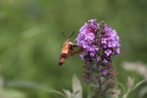 Hummingbird Moth photo by Michelle Sharp