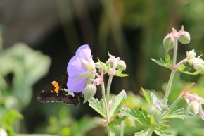 Silver Spotted Skipper on Geranium photo by Michelle Sharp