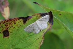 Gray Spring Moth photo by Michelle Sharp