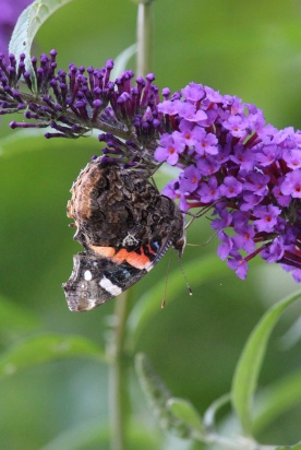 Red Admiral photo by Michelle Sharp