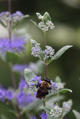 Bumblebee on Caryopteris photo by Michelle Sharp
