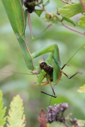Praying Mantis eating a Katydid photo by Michelle Sharp