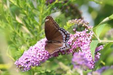 Red Spotted Purple on Buddleia photo by Michelle Sharp