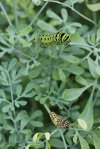 Black Swallowtail Caterpillars on Rue photo by Michelle Sharp
